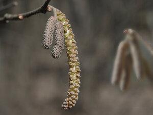 Лещина обыкновенная (Corylus avellana)Мужские сережки лещины (тычинки) в апреле