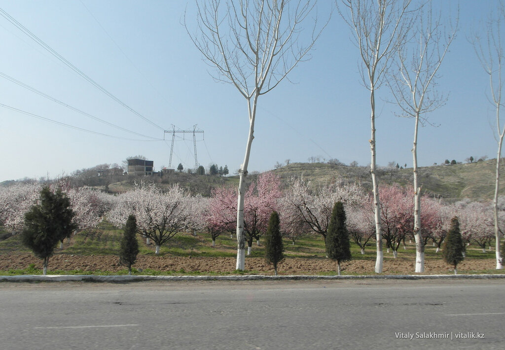Цветущий урюк в Узбекистане
