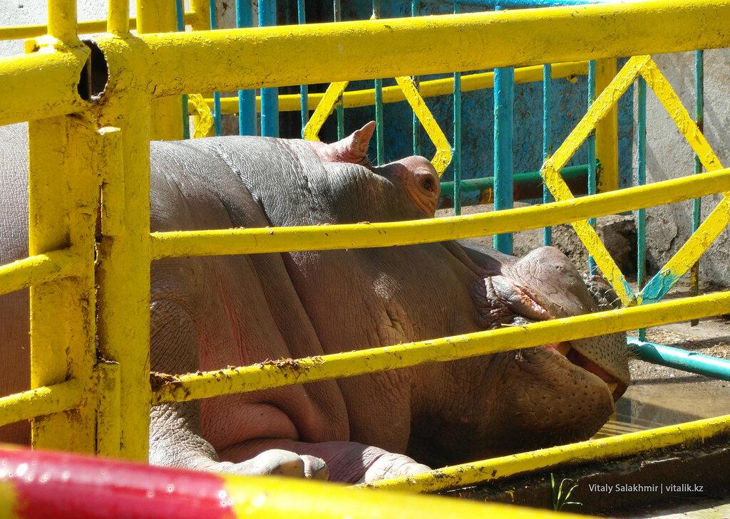 Бегемот в зоопарке Шымкента