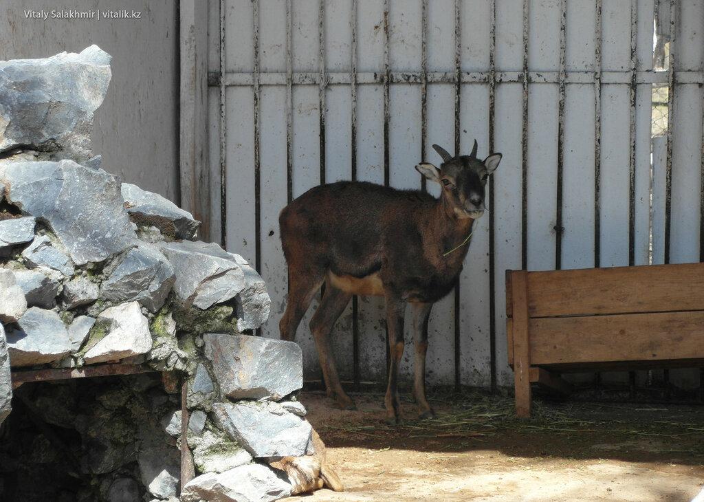 Муфлоно-архар в зоопарке Шымкента