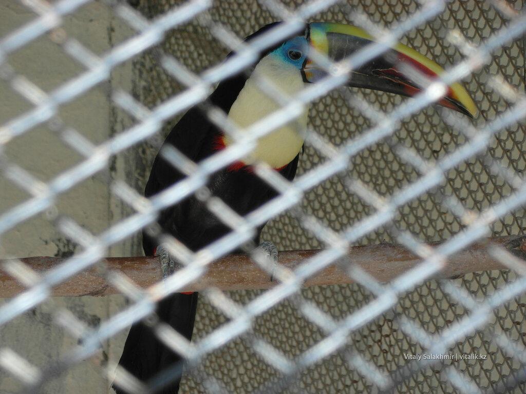 Тукан в зоопарке Шымкента