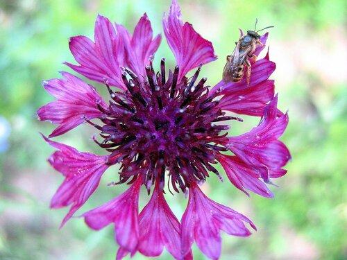 Василёк с маленькой пчёлкой