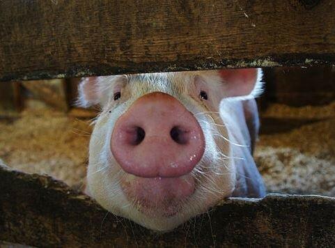 Украинская свинина может попасть под запрет