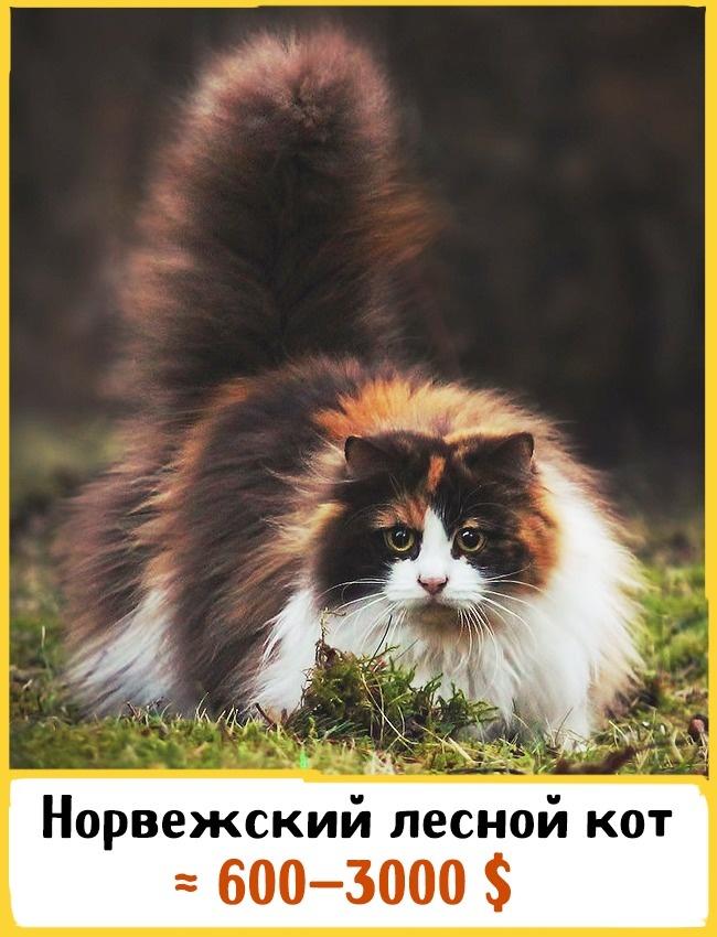 © facebook.com  Предки этого кота были выведены викингами еще 2000 лет назад. Милый ипушистый
