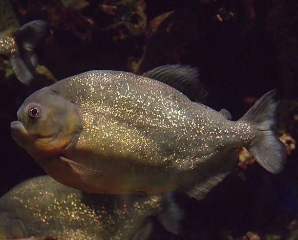 2. 24 место – Пиранья, PSI: неизвестно Сила укуса этой небольшой рыбешки в 30 раз превышает массу ее