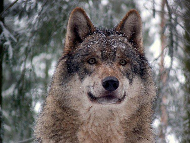 7. 19 место – Волк, PSI: 406 Волки являются прекрасными охотниками, а сила их укуса составляет 406 P