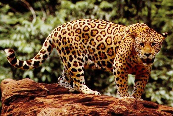 11. 15 место – Ягуар, PSI: 700 Ягуары обладают самым сильным укусом относительно массы тела среди вс