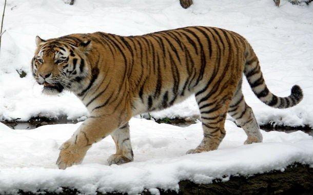 14. 12 место – Амурский тигр, PSI: 950 Амурские тигры могут похвастаться мощными челюстями и очень о