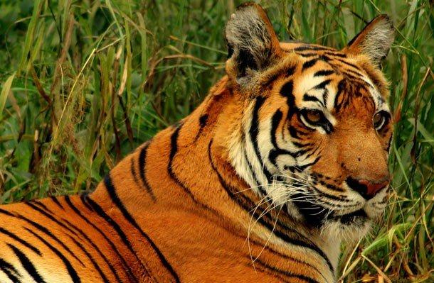 16. 10 место – Бенгальский тигр, PSI: 1050 Самые крупные представители семейства кошачьих славятся с