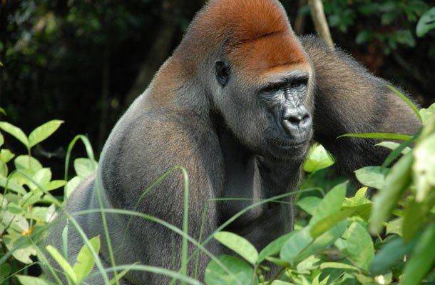 21. 5 место – Горилла, PSI: 1300 Сильным укусом гориллы обязаны не зубам, а сильной шее и мышцам чел
