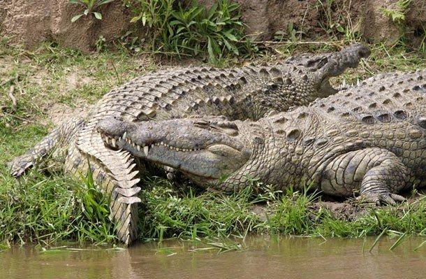 24. 2 место – Нильский крокодил, PSI: 5000 На втором месте в списке находится один из самых злобных