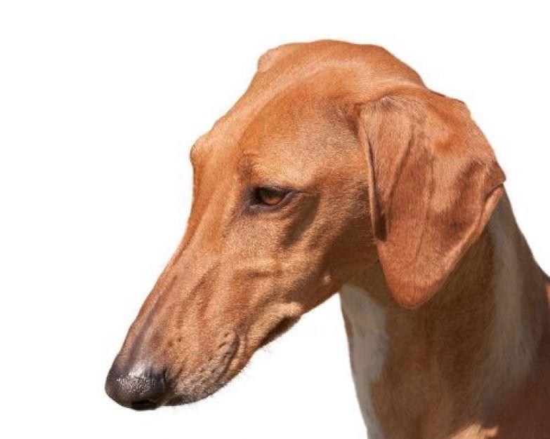 Породу собак азавак можно смело отнести к разряду экзотических. Азавак можно назвать высокостату