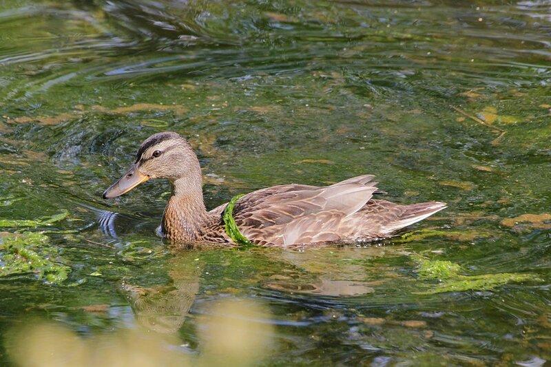 Подросшая молодая утка с ниткой водорослей на спине