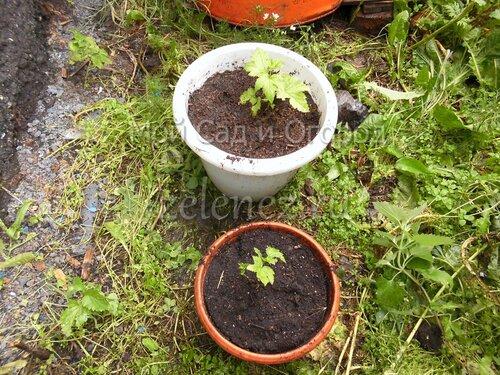 Саженцы чёрной смородины из семян с опавших ягод.