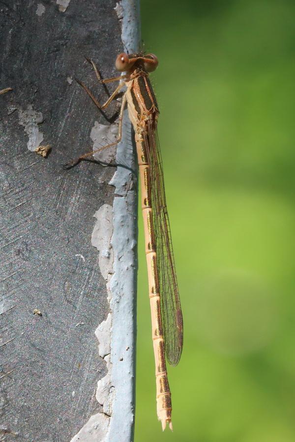 Лютка тусклая (Sympecma fusca)