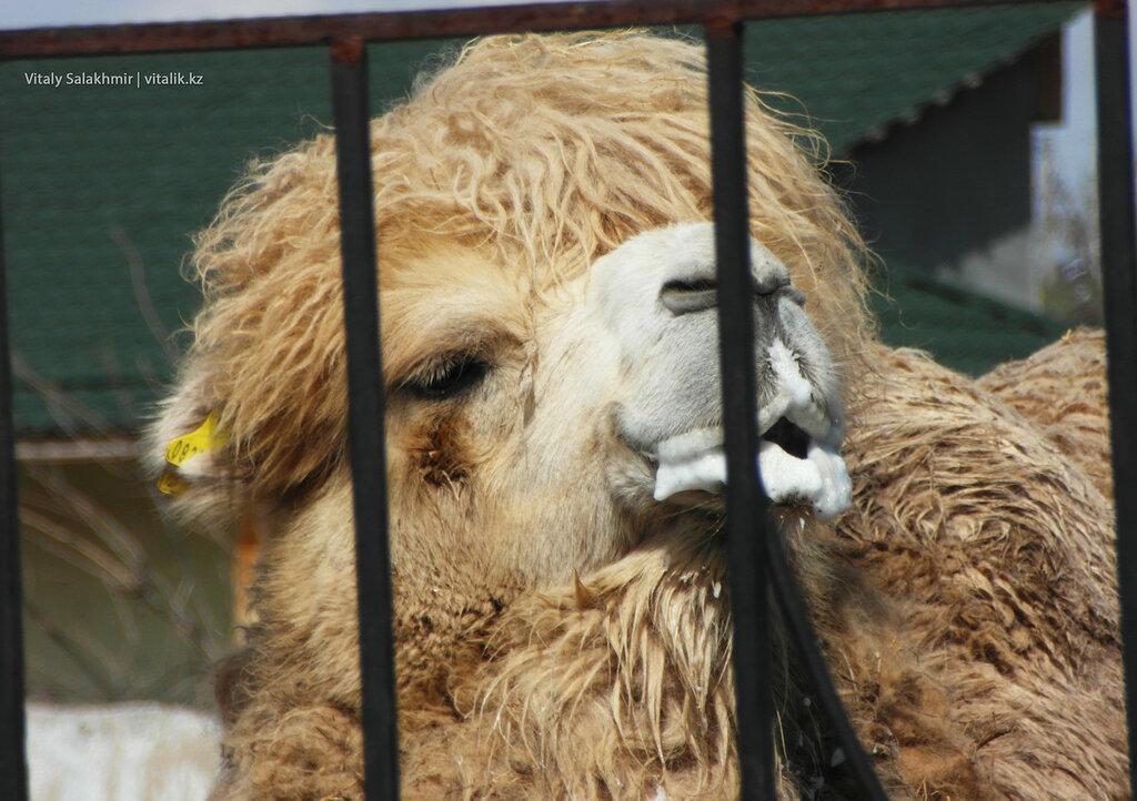 Верблюд в зоопарке Шымкента