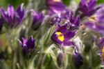 Сон-трава бушует