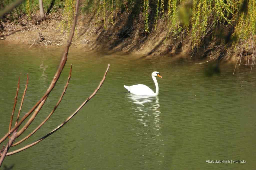 Лебедь в озере дендропарка Шымкента
