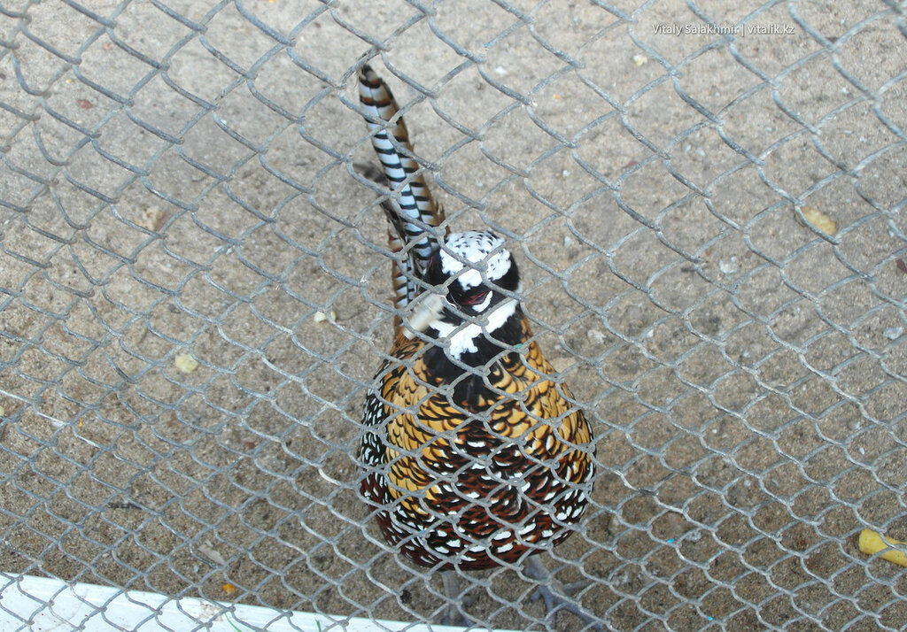 Королевский фазан, зоопарк Шымкента 2018