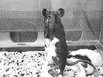 Главный крыс в гареме.