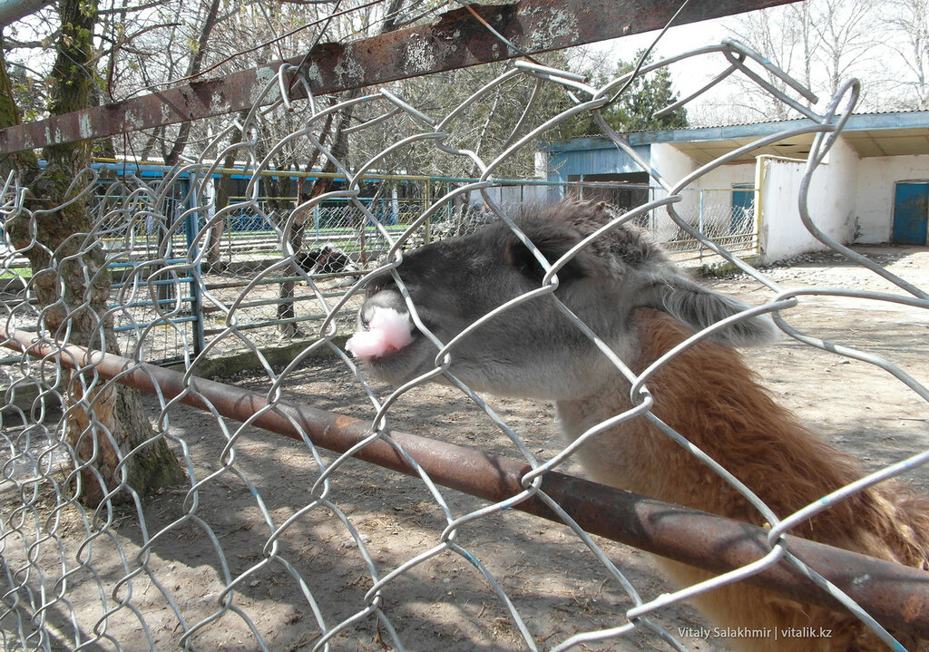 Лама и сладкая вата, зоопарк Шымкента