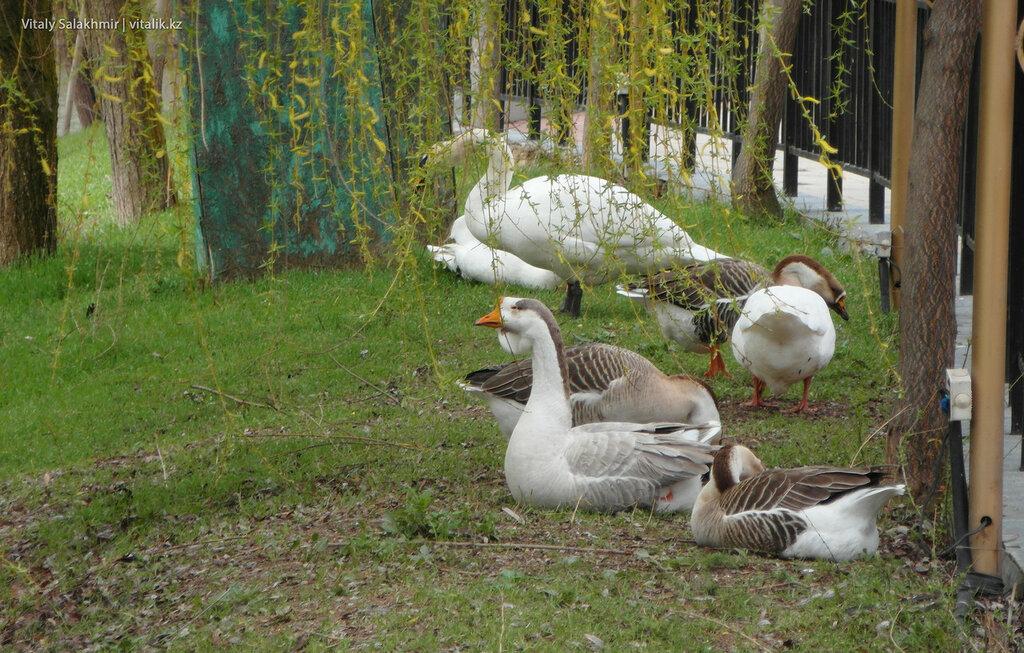 Гуси в дендропарке Шымкента