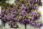 ласково цветет глициния