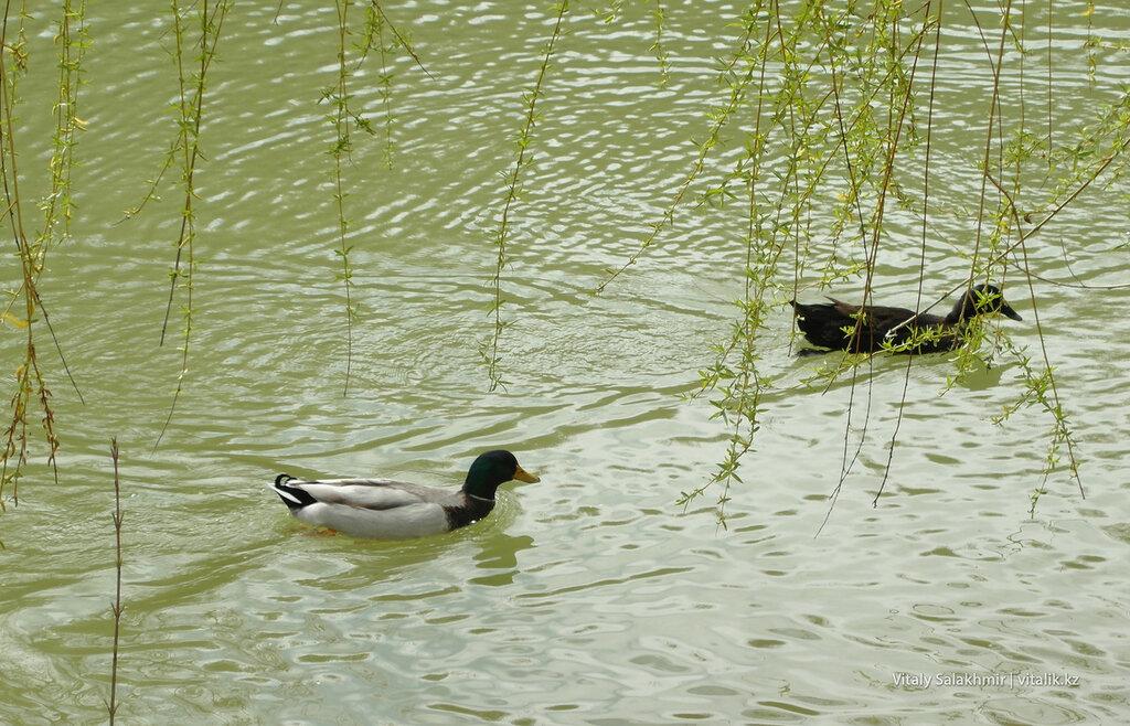 Селезень и утка в дендропарке Шымкента