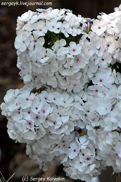 Phlox paniculata Onega (1).JPG