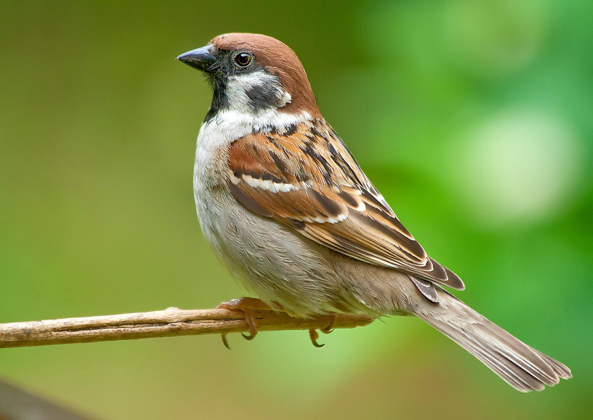 Гордий птахів