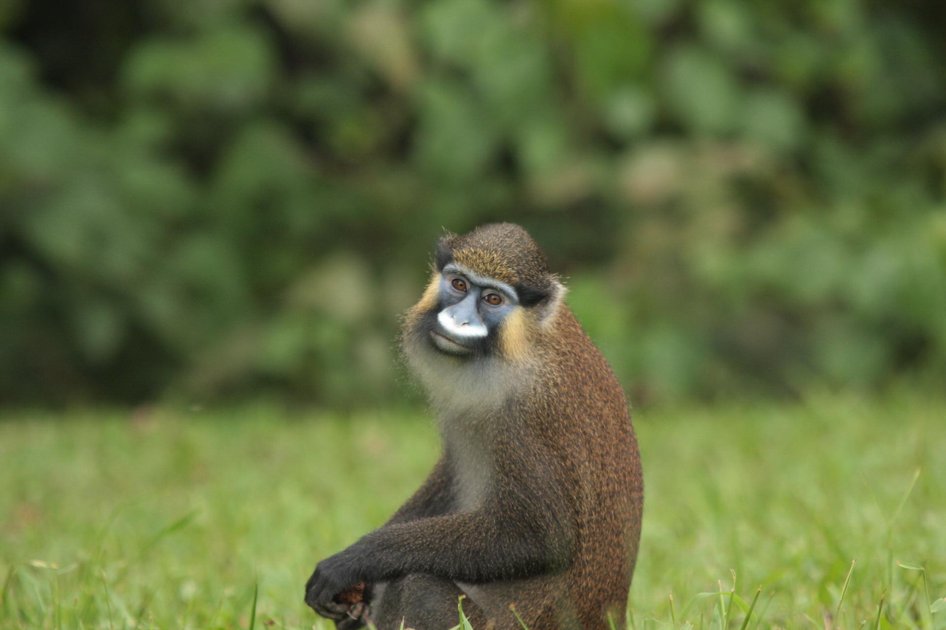 Портрет мавпи