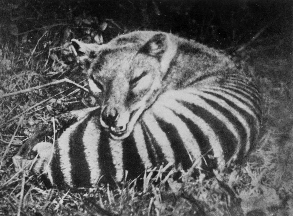 1910 год. Семейство тасманийских волков в зоопарке Хобарта.
