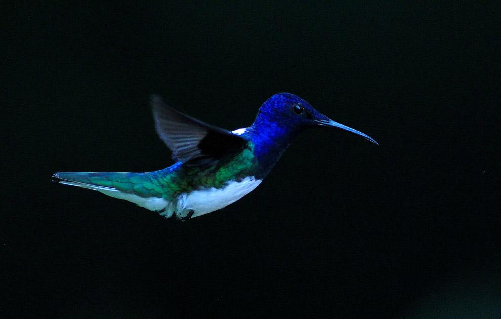 5. Движение крыльев так быстро, что очертания их совершенно сливаются; очень часто они неподвиж