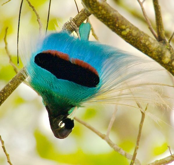 самец райской птицы
