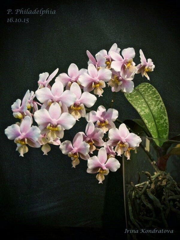 Phalaenopsis Philadelphia (schilleriana ×stuartiana)