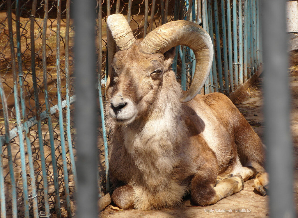 Архар в зоопарке Шымкента 2018