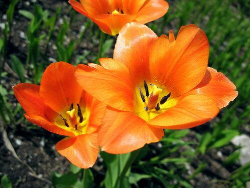 Сияющие тюльпаны