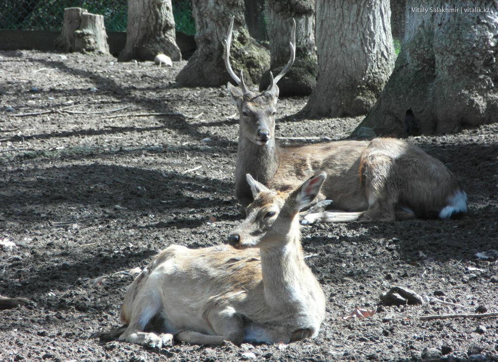 Пятнистые олени, зоопарк Шымкента