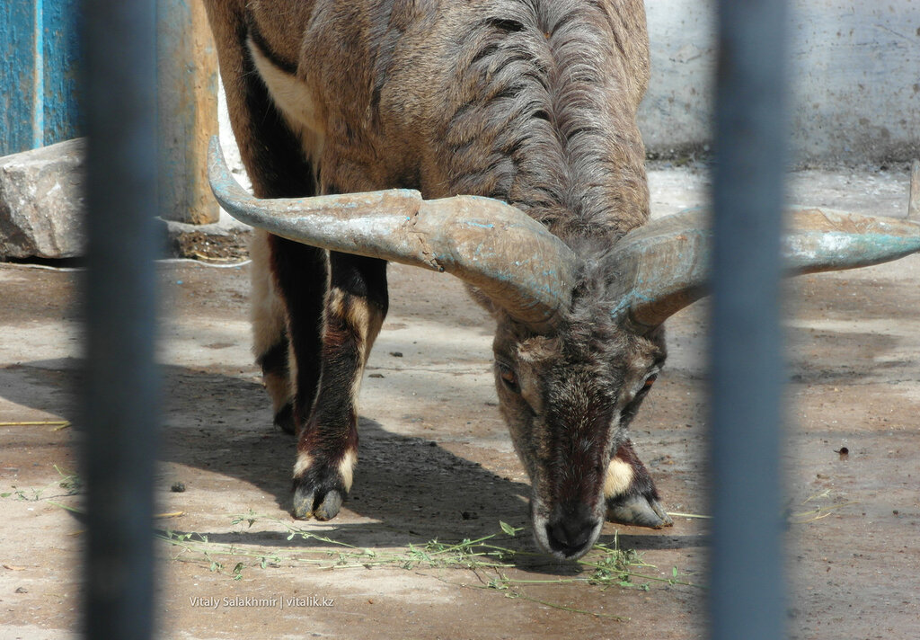 Голубой баран в зоопарке Шымкента
