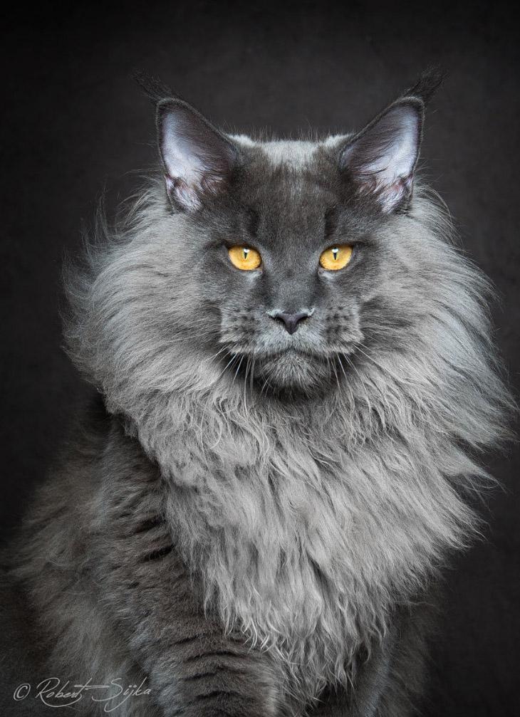 2. Из-за окраса шерсти, мощного сложения и огромного хвоста эти кошки внешне напоминали енотов. Отсю