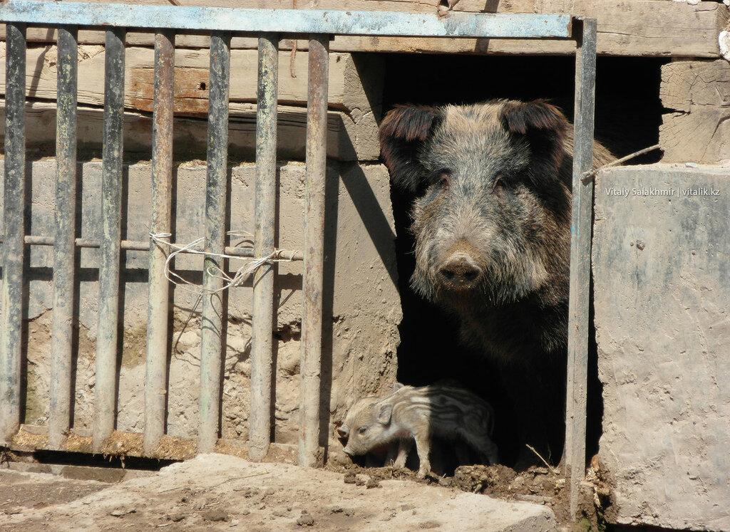 Свинья с поросятами в зоопарке Шымкента