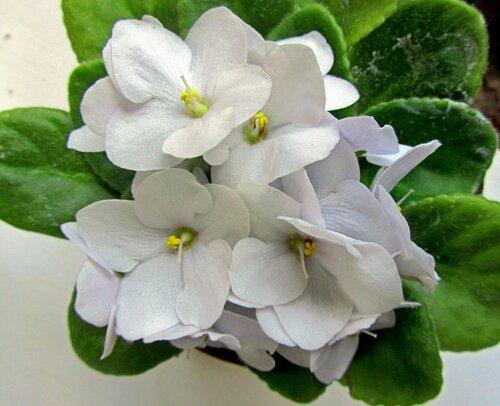 Белые сенполии