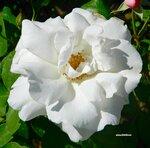 Фантазии белых цветов