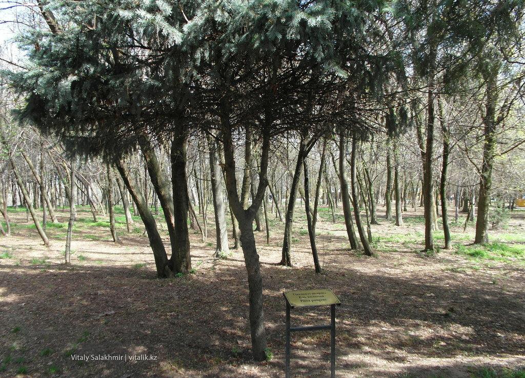 Колючая ель в дендропарке Шымкента