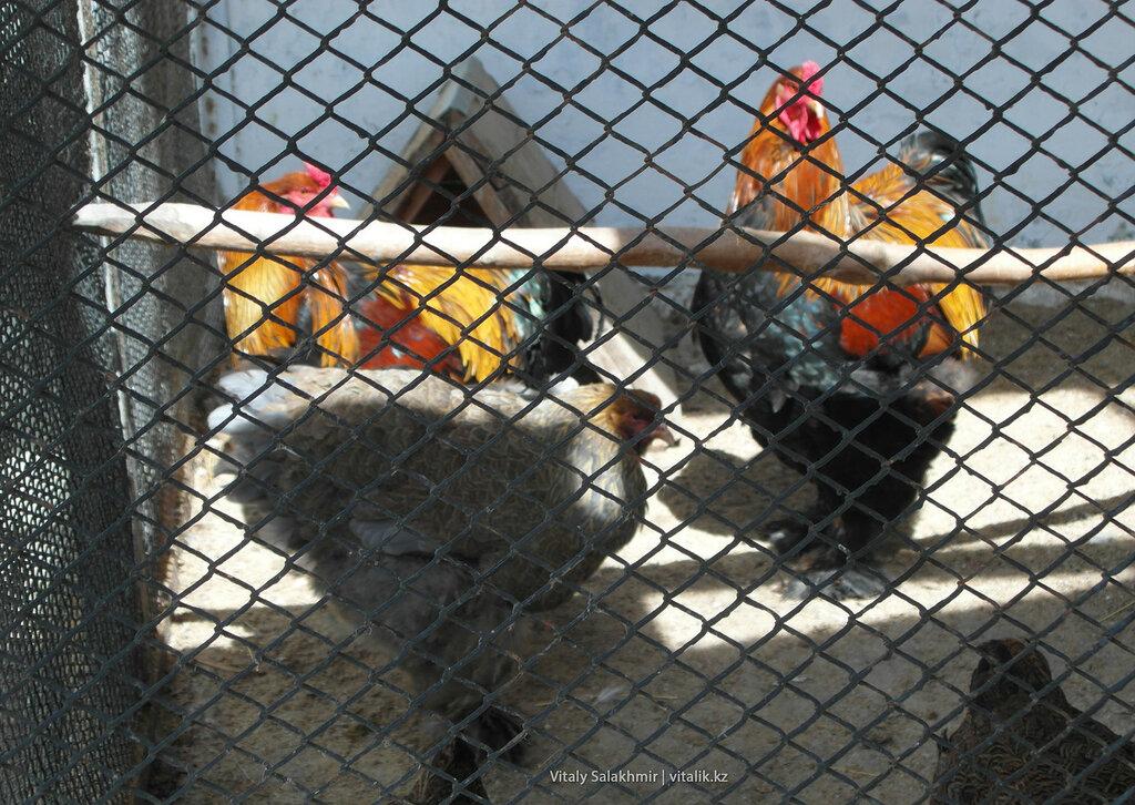 Куры брама в зоопарке Шымкента