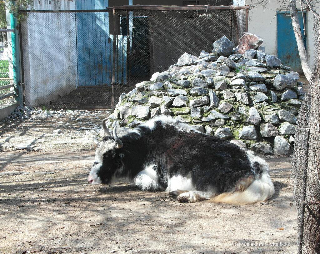 Домашний як в зоопарке Шымкента