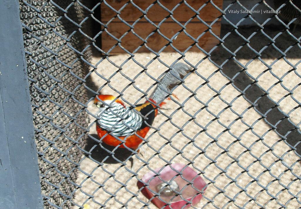 Золотой фазан в зоопарке Шымкента