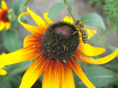 Цветок рудбекии с пчелой.