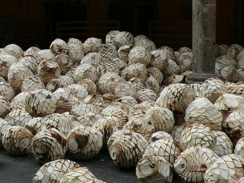 Мексика, Фабрика по производству текилы, агава