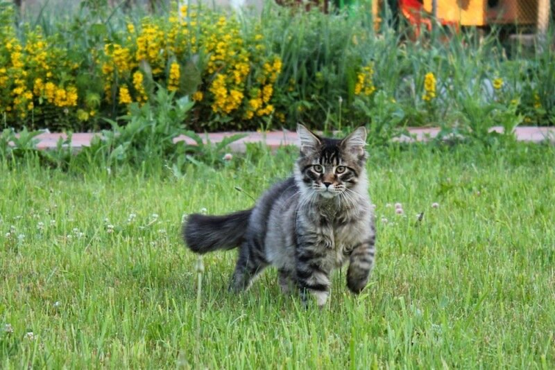 Маленький тигр Джедай